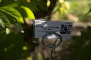 Hydrangea paniculata · šluotelinė hortenzija 6554