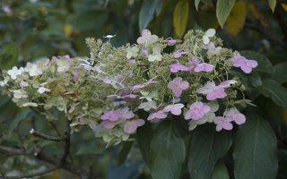 Hydrangea paniculata · šluotelinė hortenzija 6556