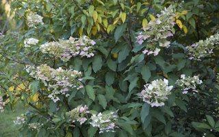 Hydrangea paniculata · šluotelinė hortenzija 6557
