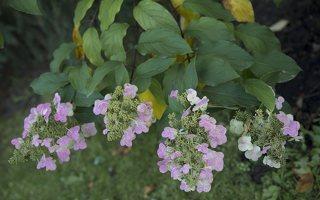 Hydrangea paniculata · šluotelinė hortenzija 6558