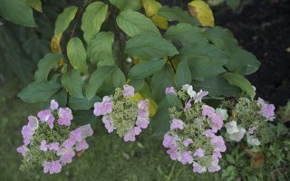 Hydrangea paniculata · šluotelinė hortenzija 6559