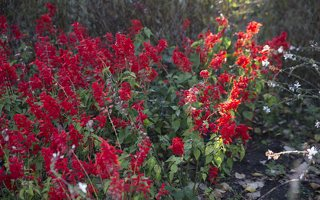 Salvia splendens · raudonžiedis šalavijas 6569
