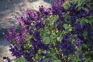 Salvia splendens 'Violacea' · raudonžiedis šalavijas 6570