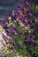 Salvia splendens 'Violacea' · raudonžiedis šalavijas 6571