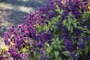 Salvia splendens 'Violacea' · raudonžiedis šalavijas 6573