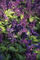 Salvia splendens 'Violacea' · raudonžiedis šalavijas 6577