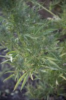 Cannabis sativa · sėjamoji kanapė 6579