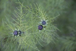 Nigella damascena · darželinė juodgrūdė 6585