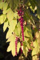 Amaranthus caudatus · uodegotasis burnotis 6590