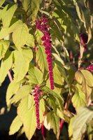 Amaranthus caudatus · uodegotasis burnotis 6592