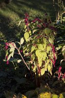 Amaranthus caudatus · uodegotasis burnotis 6593