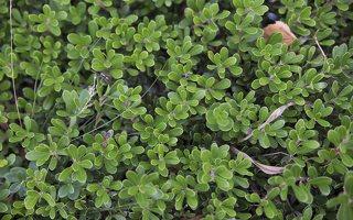 Arctostaphylos uva-ursi · miltinė meškauogė 6245
