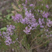 Calluna vulgaris · šilinis viržis