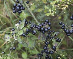 Solanum retroflexum · lenktažiedė kiauliauogė 6626