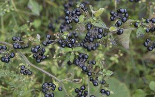 Solanum retroflexum · lenktažiedė kiauliauogė 6627