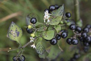 Solanum retroflexum · lenktažiedė kiauliauogė 6628