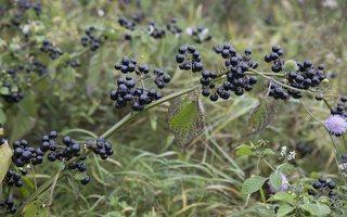 Solanum retroflexum · lenktažiedė kiauliauogė 6629