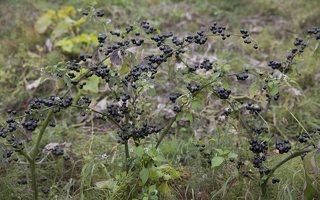 Solanum retroflexum · lenktažiedė kiauliauogė 6630