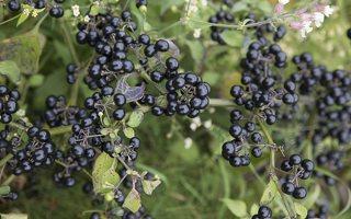 Solanum retroflexum · lenktažiedė kiauliauogė 6631
