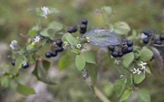 Solanum retroflexum · lenktažiedė kiauliauogė 6632