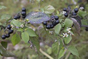 Solanum retroflexum · lenktažiedė kiauliauogė 6633