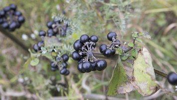 Solanum retroflexum · lenktažiedė kiauliauogė 6634