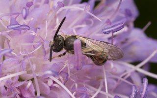 Andrena hattorfiana · buožaininė smėliabitė 6758