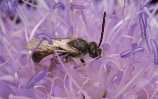 Andrena hattorfiana · buožaininė smėliabitė 6759