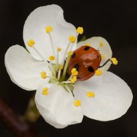 Coccinella septempunctata · septyntaškė boružė 1335