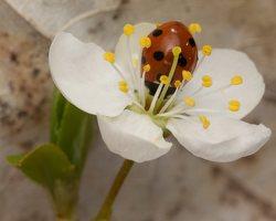 Coccinella septempunctata · septyntaškė boružė 1336
