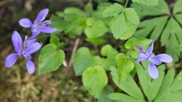 Viola reichenbachiana · miškinė našlaitė 1362