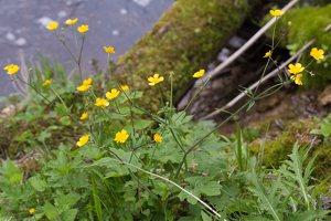 Ranunculus lanuginosus · vilnotasis vėdrynas 1368