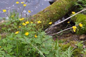 Ranunculus lanuginosus · vilnotasis vėdrynas 1369
