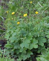 Ranunculus lanuginosus · vilnotasis vėdrynas