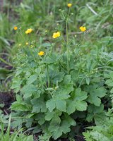 Ranunculus lanuginosus · vilnotasis vėdrynas 1371