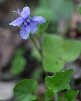 Viola canina · šuninė našlaitė 1373