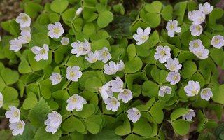 Oxalis acetosella · paprastasis kiškiakopūstis 1374