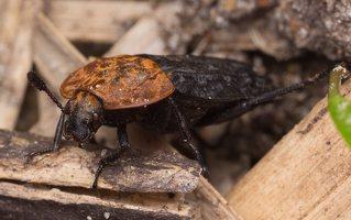 Oiceoptoma thoracicum · raudonnugaris maitvabalis 1376