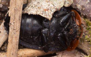 Oiceoptoma thoracicum · raudonnugaris maitvabalis 1377