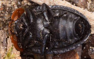 Oiceoptoma thoracicum · raudonnugaris maitvabalis 1378