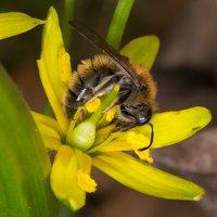 Apidae · bitė 1154