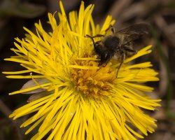 Apidae · bitė 1156