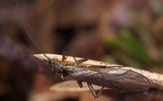 Plecoptera · ankstyvės 1163