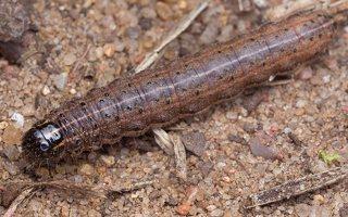 Apamea crenata · rudasis pašakninis pelėdgalvis