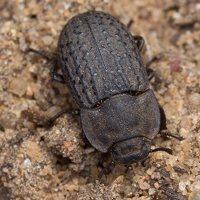 Opatrum sabulosum · smiltyninis juodvabalis 1180