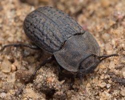 Opatrum sabulosum · smiltyninis juodvabalis 1181