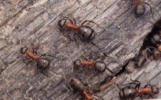 Formicidae · skruzdėlės 1188