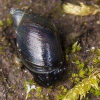 Oxyloma elegans · grakščioji gintarė 1409
