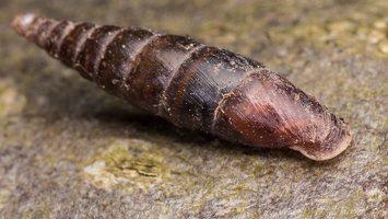 Cochlodina laminata · glotnioji slukutė 1439