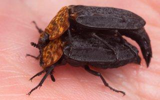 Oiceoptoma thoracicum · raudonnugaris maitvabalis 1491